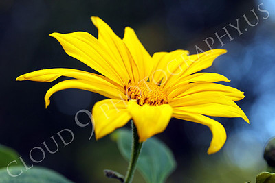 FLOW 00600 A beautiful Mexican sunflower in full bloom, by Peter J Mancus