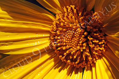 FLOW 00611 An extreme close up of a Mexican sunflower's reproductive organs, by Peter J Mancus
