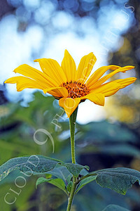 FLOW 00607 A Mexican sunflower in full bloom, by Peter J Mancus