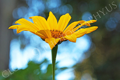 FLOW 00606 A side view of a beautiful Mexican sunflower in full bloom, by Peter J Mancus