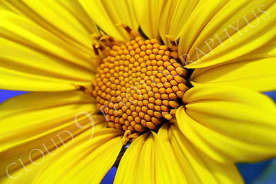 FLOW 00601 A close up view of a beautiful Mexican sunflower's core, by Peter J Mancus