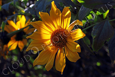 FLOW 00621 A beautiful Mexican sunflower in full bloom under beautiful light, by Peter J Mancus