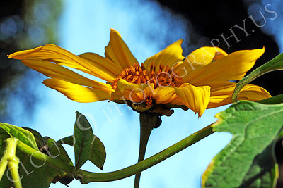 FLOW 00612 A side view of a blooming Mexican sunflower, by Peter J Mancus