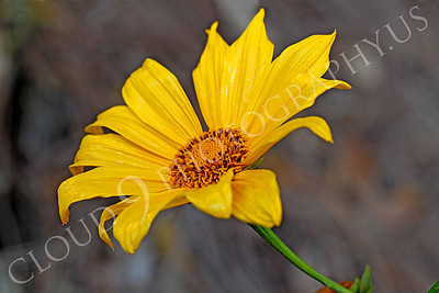 FLOW 00608 A beautiful Mexican sunflower in full bloom, by Peter J Mancus