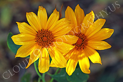 FLOW 00609 Two beautiful over lapping Mexican sunflowers in full bloom, by Peter J Mancus
