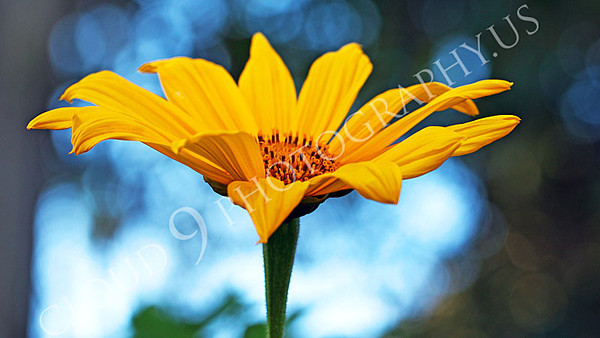 FLOW 00620 A side view of a beautiful Mexican sunflower in full bloom, by Peter J Mancus
