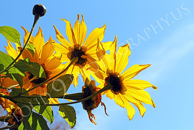 FLOW 00604 An unusual view of a cluster of Mexican sunflowers, by Peter J Mancus