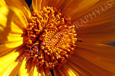 FLOW 00610 An extreme close up of the core of a beautiful Mexican sunflower in full bloom, by Peter J Mancus