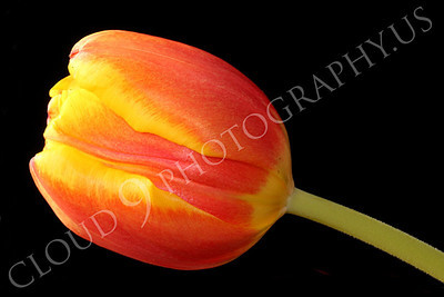FLOW 00403 Side view of a tight orange tulip flower, by Peter J Mancus