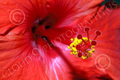 FLOW 00001 Close up of a red hibiscus flower, by Peter J Mancus