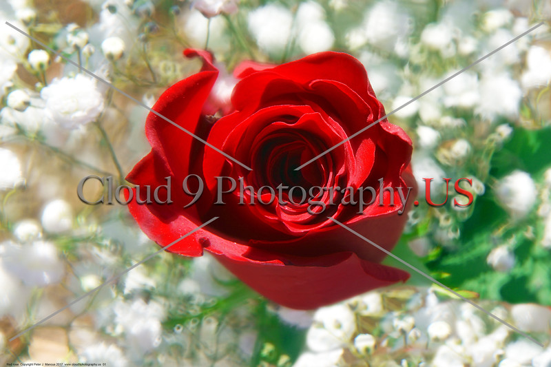 FLOWER-Red Rose 0001 A beautiful fresh bloom red rose by Peter J  Mancus     DONEwt