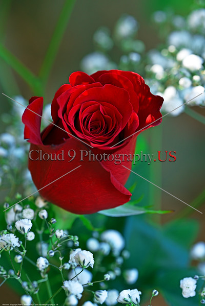 FLOWER-Red Rose 0019 A beautiful mature red rose bloom, by Peter J  Mancus      DONEwt