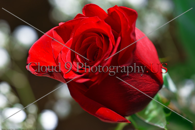 FLOWER-Red Rose 0012 A beautiful red rose in a garden, by Peter J  Mancus      DONEwt