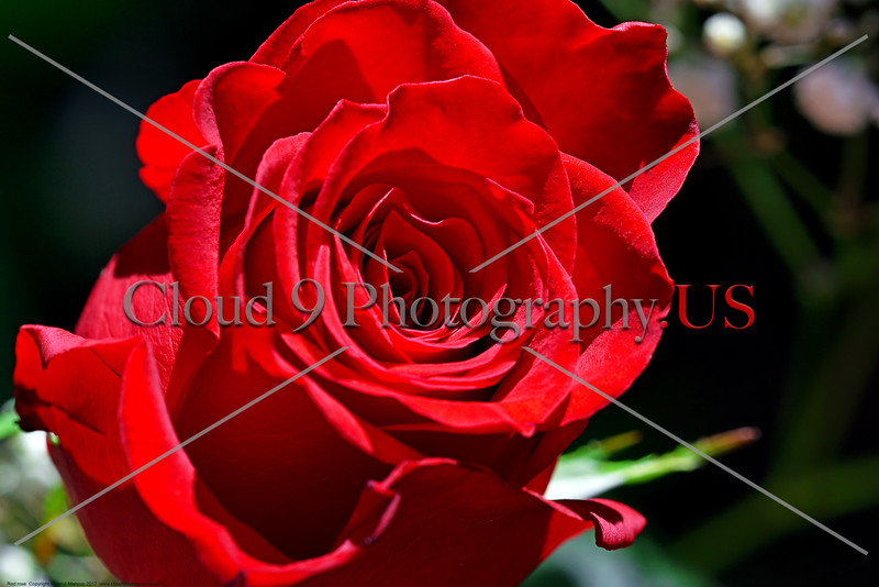 FLOWER-Red Rose 0014 A beautiful mature red rose bloom, by Peter J  Mancus      DONEwt