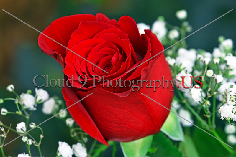 FLOWER-Red Rose 0021 A beautiful mature red rose bloom, by Peter J  Mancus      DONEwt