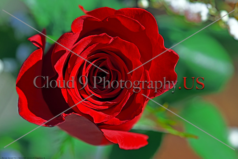 FLOWER-Red Rose 0018 A lovely top view of a beautiful mature red rose bloom, by Peter J  Mancus      DONEwt