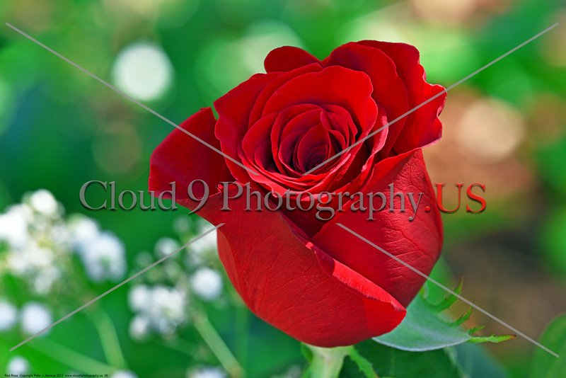 FLOWER-Red Rose 0008 A beautiful red rose in a garden, by Peter J  Mancus      DONEwt