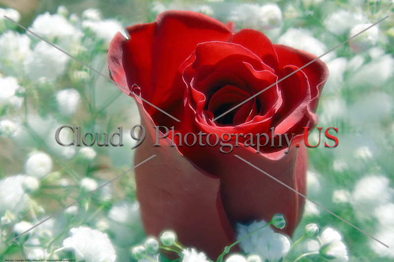 FLOWER-Red Rose 0002 A beautiful fresh bloom red rose by Peter J  Mancus     DONE wt