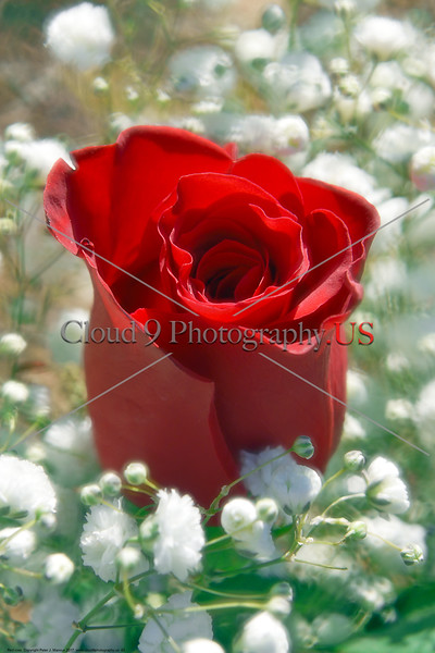 FLOWER-Red Rose 0003 A beautiful fresh bloom red rose by Peter J  Mancus     DONE wt