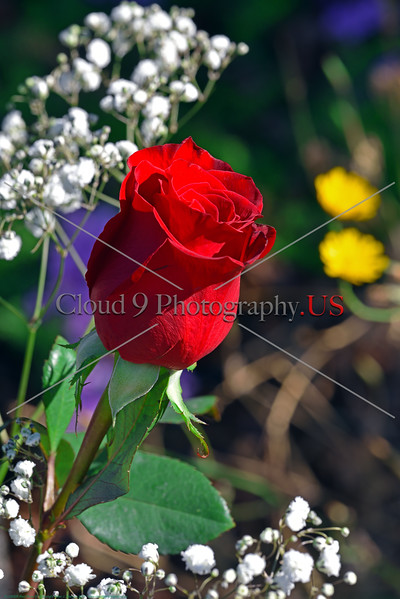 FLOWER-Red Rose 0007 A beautiful red rose in a garden, by Peter J  Mancus      DONEwt