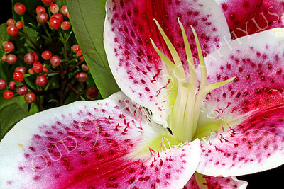 FLOW 00316 A stargazer flower in a floral arrangement, by Peter J Mancus