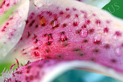 FLOW 00312 A close up of a stargazer flower's rose colored petal with dew drops, by Peter J Mancus