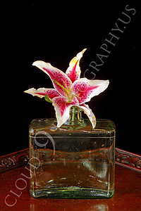 FLOW 00321 A stargazer flower in a clear glass vase on a wood table, by Peter J Mancus