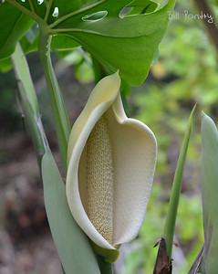 "Monstera Deliciosa, ""Locust & Wild Honey"""
