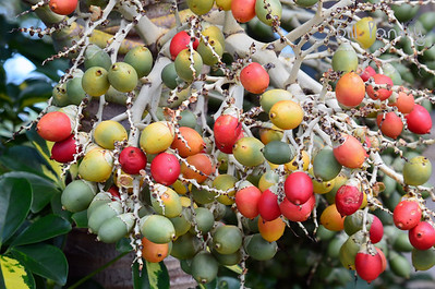 Christmas Palm berries