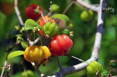Surinam Cherries