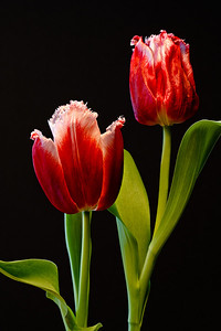 Potted Tulips - window light - black