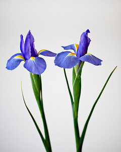 Iris pair - from Valentine's bouquet