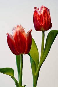 Potted Tulips - window light - white