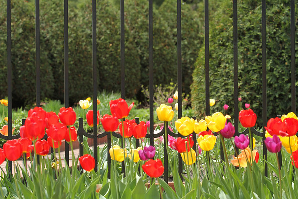 Tulips And Gate