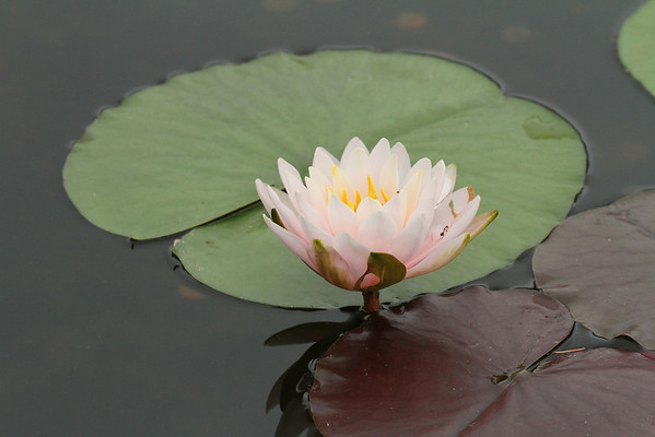 Water Lilly #3