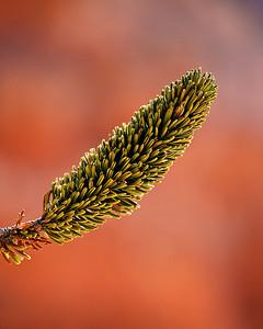 Bristlecone Pine needles, Bryce Canyon NP, Utah