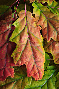 Fall oak leaves - window light