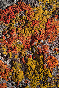 Lichen on very coarse grained Fountain Formation sandstone, Pennsylvanian Mt. Sanitas trail, Boulder, CO