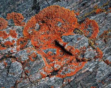 Lichen on metamorphics Kewaneeche Valley, Rocky Mtn. National Park, CO