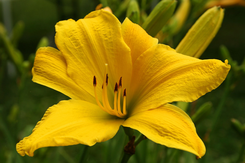 Yellow Day-lily 299