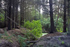 Forest - Lossiemouth