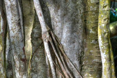 Banyan tree, Southlands Park, Warwick, Bermuda