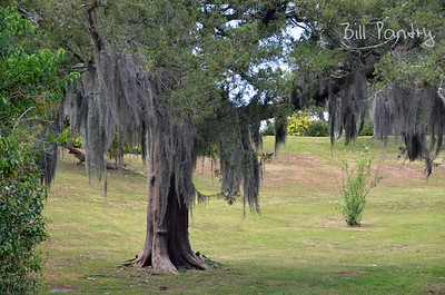 Cedar tree with Spanish Moss, Paget, Bermuda