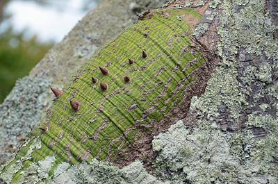 Kapok tree, Paget, Bermuda
