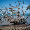 Dead tree on Coochie Mudlo Island, Morton Bay, Queensland, Australia