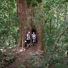 Box Brush tree in Lamington National Park, Queensland, Australia.