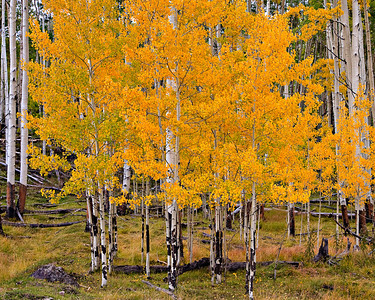 Fall Aspen - Boulder Mountain, Utah