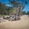 Dead tree on Coochie Mudlo Island, Morton Bay, Queensland, Australia
