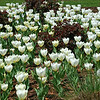 White Tulips with Rose Bushes