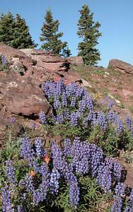 Lupine - Shrine Ridge Vail Pass, CO